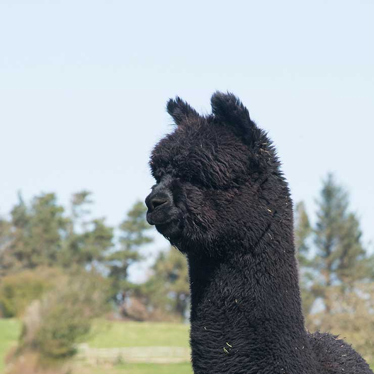 Nero Black Alpaca